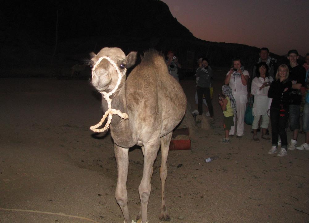 Верблюд и туристы, Хургада