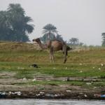 Верблюд на загаженном берегу Нила, Луксор, Египет
