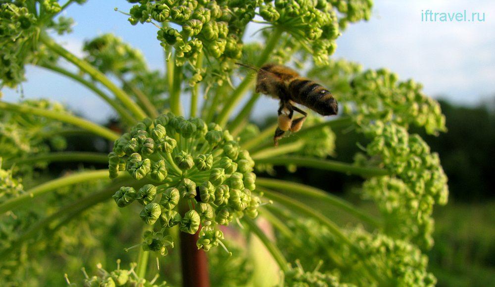 Пчела на соцветии борщевика