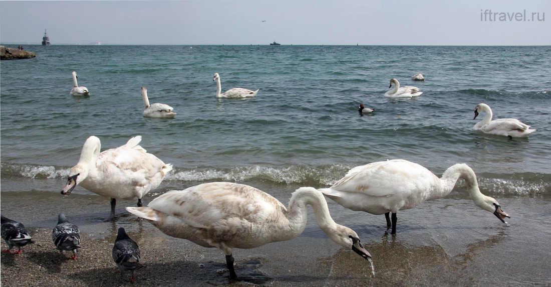 Феодосия, лебеди на пляже