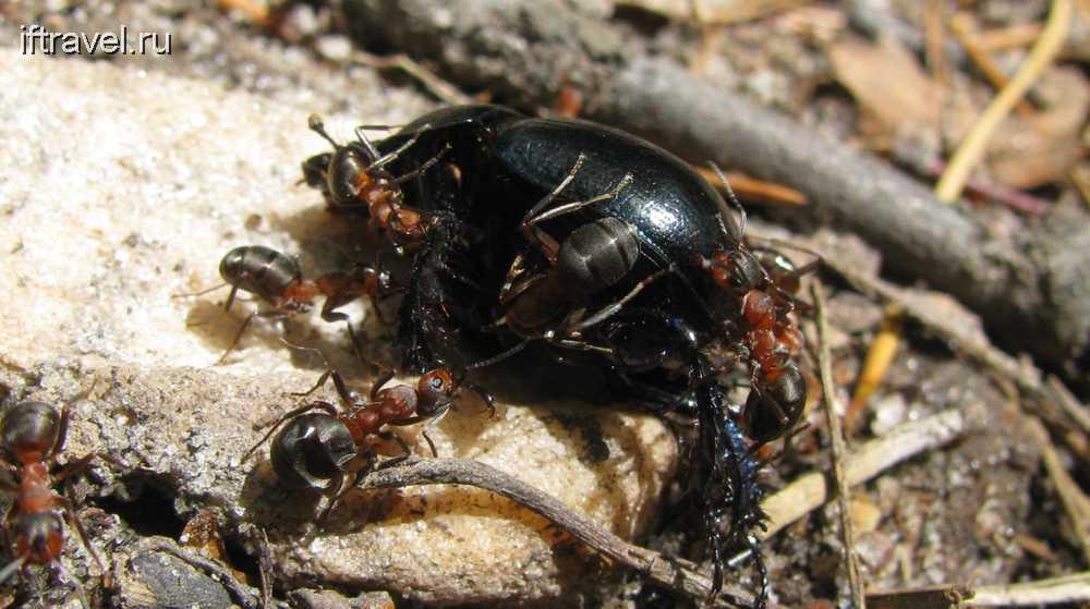 Жук и муравьи