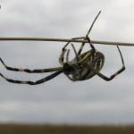 Паук аргиопа, Воронежская область