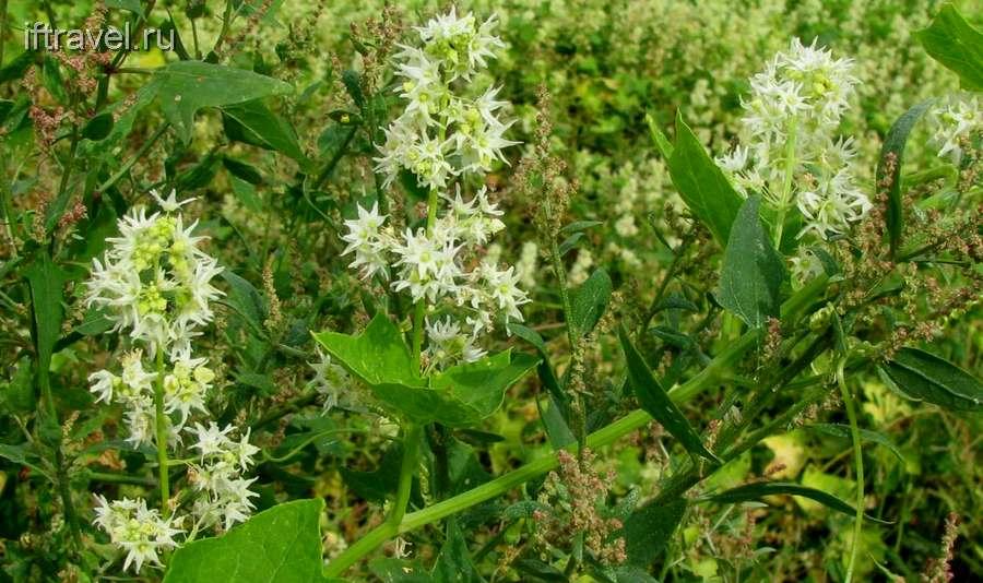 Хмель - ползучее растение