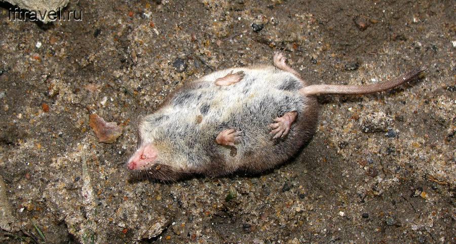 Мышка Аня