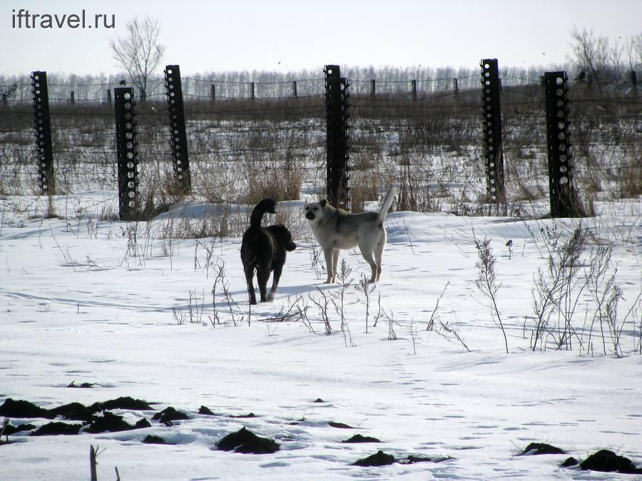 Собаки с ближнего привода