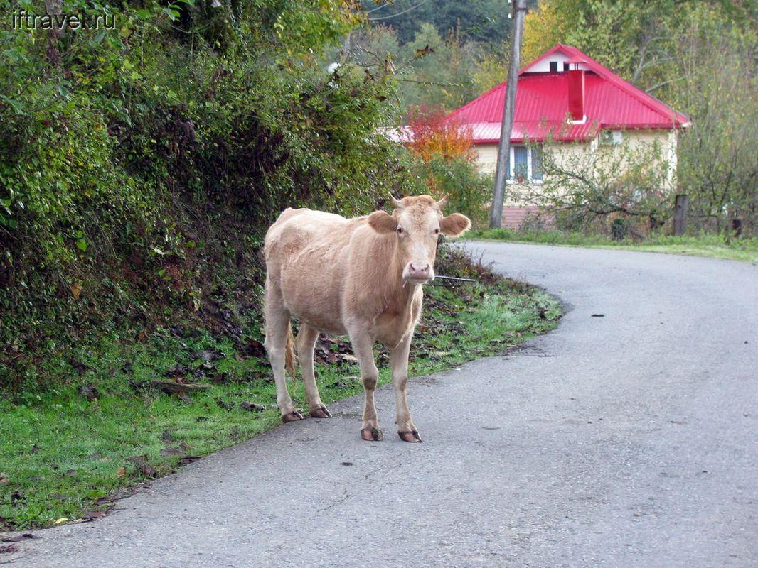 Корова на пути к пещерам