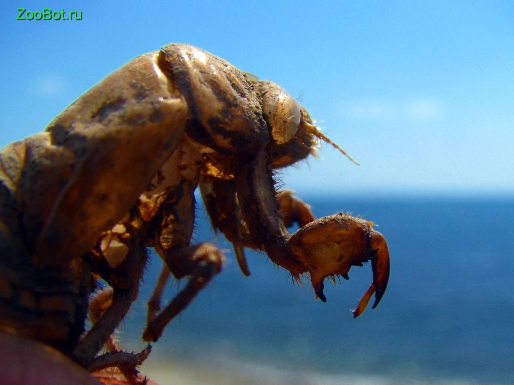 Личинка цикады