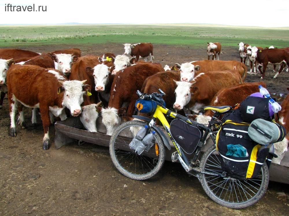 Пьем вместе с коровами