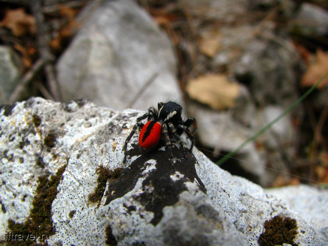 Очень красивый красно-черный паук